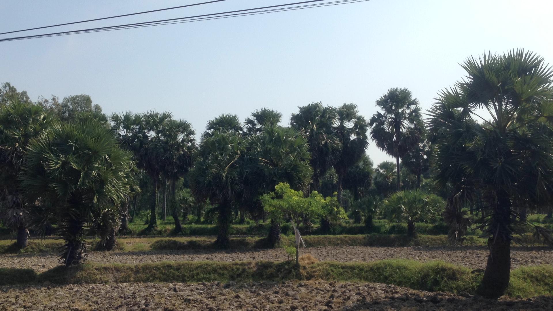 Rừng thốt nốt tại Tịnh Biên, An Giang